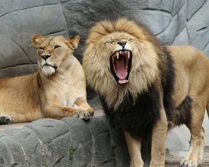 lion-343387_1920