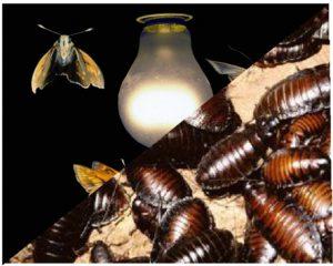 Moth-Cockroach